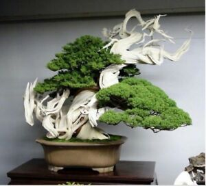 Rare Japanese Juniper Bonsai Tree Seeds, Juniperus Chinensis - 10x Seeds