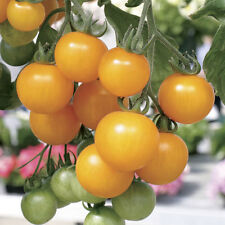 Tomato Seeds Tumbling Tom Yellow 50 or 100 or 250 Seeds