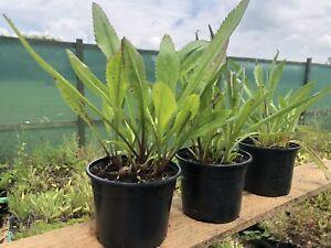 Leucanthemum vulgare - Ox-eye Daisy 3x11cm pot, meadow perennial. Established.