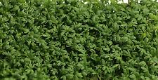 3000 Samen Pfefferkresse Kresse Gartenkresse - Lepidium sativum Gewürz