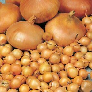 50 RADAR (Autumn Planting Winter Onion Sets) The easy way to grow Onions.