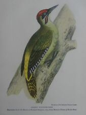 British Birds GREEN WOODPECKER from 1852 Illustration by F.O.Morris 1940's Print