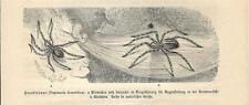 Stampa antica INSETTI RAGNO Tegenaria domestica INSECTA 1891 Old antique print