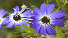 500 Swan River Daisy Blue Flower Seeds+ Free Gift*