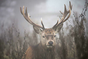 STUNNING SCOTTISH HIGHLAND RED STAG CANVAS #16 QUALITY WILDLIFE WALL ART A1