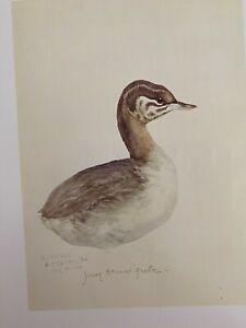 "Louis Agassiz Fuertes & The Singular Beauty of Birds, ""Horned Grebe"" Print"