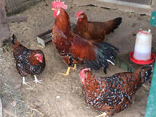 10 Bruteier Italiener Hühner Verschiedene Farben Bunte Mischung Mix