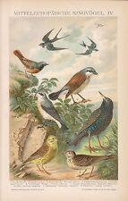 Singvögel Goldammer Star Hausschwalbe Feldlerche Vogel   LITHOGRAPHIE 1892