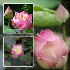 Nelumbo nucifera 10 Seeds, Lotus Seeds, Pink Flower Aquatic Plants Beautiful