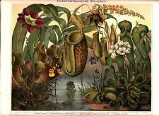 1894 INSECTIVOROUS PLANTS Antique Chromolithograph Print