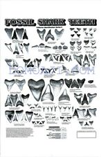 """Brand New Beautifully Illustrated, 24"""" X 36"""" Fossil Shark Tooth Poster"""