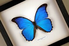 Morpho godari (didius) - echter Schmetterling im Schaukasten/Rahmen hinter Glas