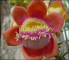 10 seeds*Couroupita Guianensis*Cannonball*Fre e Shipping*