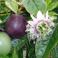 LIVE Passion Fruit Vine Seedling Starter Plug 3-6+ Inches Passiflora edulis