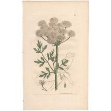 Sowerby antique 1st ed 1812 hand-colored engraving, Pl 2313 Hemlock Dropwort