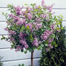 Pair of Standard Lilac Tree Syringa 'Palibin' 80-100cm Tall in a 3.5L Pot