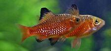Rosy Barb, Pethia conchonius  4cm Tropical Fish