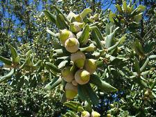 rare plant Holm Oak QUERCUS ILEX tree