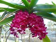Orchid red/purple  Rhy Gig young plant. FREE POSTAGE WORLDWIDE.