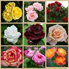 20Pcs Rose Flower Seeds Rosehip 10 Kinds Home Garden Fragrant Magnificent Plants