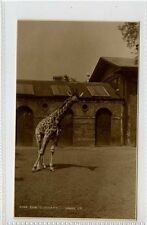 (Gt550-432) Real Photo of Giraffe, Zoo Curiosity c1930 Unused EX