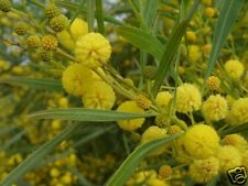 8 graines MIMOSA DES 4 SAISONS (Acacia Retinodes) G371 WIRILDA SEEDS SAMEN SEMI