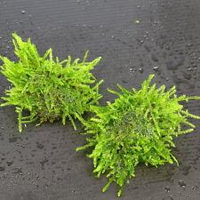 Java Moss Stone Pad 3pcs - Live Aquarium Plants Low Light Tropical Fish Tank