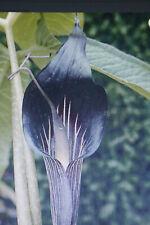10 Samen Kobralilie,Blume, Arisaema speciosum #801