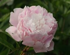 Peony/paeonia plant 'Pecher' 3/5 eyes bare root Shipping Now