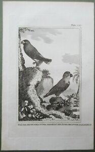 Parrot Bird Red Headed Parakeet Antique Print Copper Plate Engraving Buffon 1812