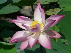Indian Lotus Seeds - Nelumbo Nucifera - Sacred Lotus - water plant - Pink Lotus
