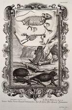Scheuchzer 1731 Physica Sacra Igel Chamäleon Salamander Lizard Hedgehog Iltis