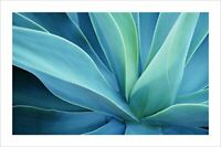Agave Cactus - Poster - 24 x 36 inches