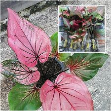 "1 Bulbs Caladium Plants, Queen of the Leafy ""Tepamarin"" Ornamental Plants Fresh"