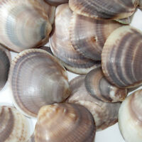 Set of 50 Natural Seashells from Israel Made for Aquarium and Home Decor 200 gr