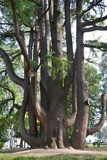 CEDRUS LIBANI 1 pianta in alveolo forestale Cedro del libano