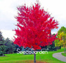 100 PCS Seeds Red JAPANESE Maple Beautiful Plant Tree Flores Bonsai Garden Decor