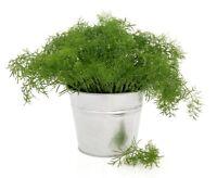 "Garden dill ""Tetra"" - best variety for early green - - 2800 seeds"