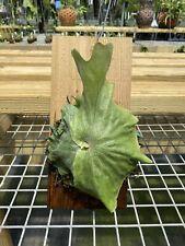 Established Staghorn Fern Platycerium superbum (Australian species) On Plaque