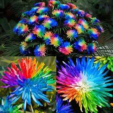 100pc Rainbow Chrysanthemum Flower Seeds Rare Color DIY Home Garden Flower Plant