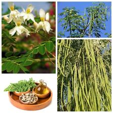 10Pc Moringa Oleifera Tree Drumsticks Malunggay Miracle Tree Seeds Health Plants