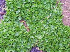 OT003 Dichondra Repens, Ground Cover x300 seeds