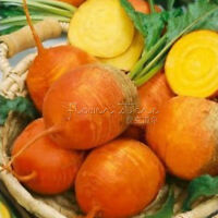 100 Golden Beet Seeds heatlhy Vegetable Garden Plant wonderful option