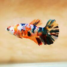 "Live Betta Fish - Female Halfmoon -""Koi Candy Fancy"" Betta High Quality (QAUG19)"