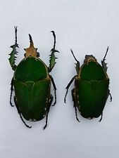 MT7 Beetles : Mecynorrhina torquata immaculicolis  from Cameroun
