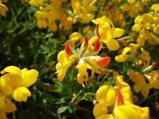 3.000+ Samen Lotus corniculatus - Hornklee , Hornschotenklee