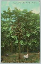 Florida~Paw Paw Tree~ One Year Old~1910 Postcard