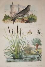 GRAVURE COULEURS OISEAUX MARTINET MASARIS MASTIGRE DE SAINSON FRIES 1837 R1454
