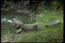416014 Zwerg Krokodil osteolaemus tetraspis A4 Fotoprint