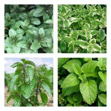 100x Mint Herb Seeds Mentha Aromatic Medicinal Home Garden Plants Organic NonGmo